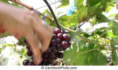 Cutting grapes in vineyard