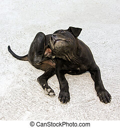 Flea puppy - Small black puppy with fleas scratches himself