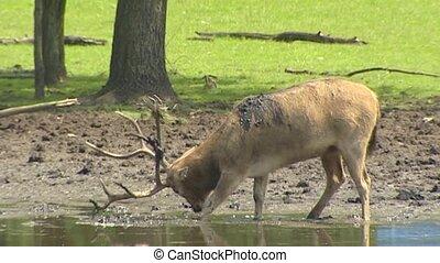 Pere David's Deer (Elaphurus davidianus) in rut scrubs...