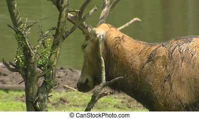 Pere David's Deer (Elaphurus davidianus) in rut, scrubs...