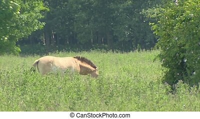 Przewalski's horse grazes in nature reserve. Medium shot....