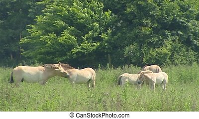Przewalski herd horses grazes in nature reserve. Medium...
