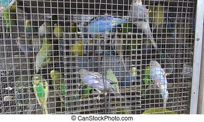 Cage with many multicolored budgies budgerigars in Mumbai...