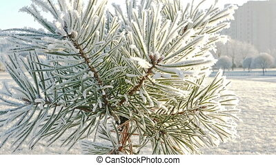 Pine Tree With Hoarfrost in Frosty Winter Park