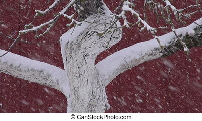 tree trunk in garden and snowstorm - white old apple tree...
