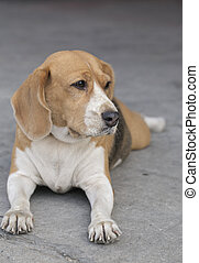 beagle - Beagle I was sitting on the cement floor