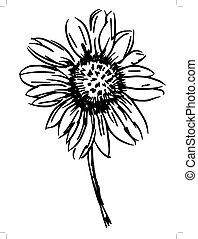 aster - hand drawn, sketch illustration of aster
