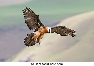 Adult bearded vulture landing on rock ledge where bones are...
