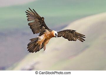 Adult bearded vulture landing on rock ledge where bones are...