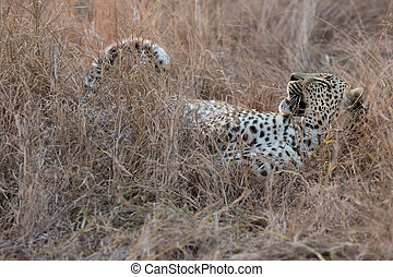 Leopard  lying down in long brown grass relaxing before a hunt