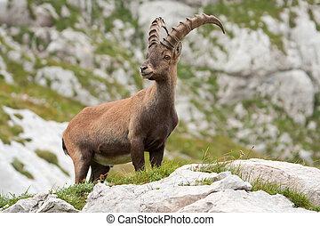 Ibex, alpino