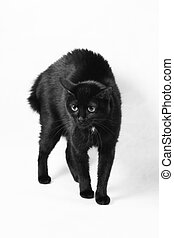 scared black cat - The scared black cat isolated on a white...