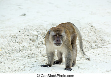 Aggressive Monkey beach. Crab-eating macaque at Phi-Phi,...