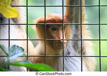 A proboscis monkey - Proboscis Monkeys, Nasalis larvatus, or...