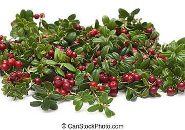 Branches of the cowberry insulated - Branches of the...