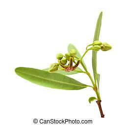 dogbane Periploca Laevigata - flowering dogbane Periploca...