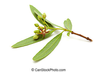 dogbane - flowering dogbane Periploca Laevigata isolated on...