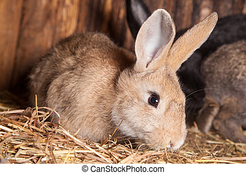 Rabbit in the barn. - Closeup of domestic rabbit in the...