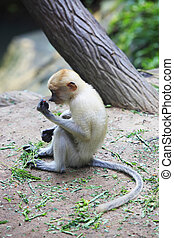 Proboscis monkey - Proboscis Monkeys, Nasalis larvatus, or...