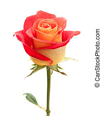 variegated yellow and orange rose, isolated on white