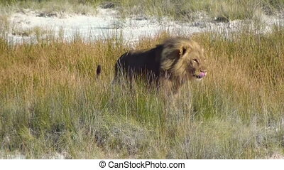 Male lion walking jumping Etosha - Male lion walking and...