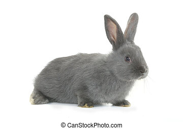 gray rabbit - gray rabbit on a white background