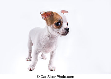 cute chihuahua puppy looking to the right in front of a...