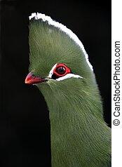 Knysna Turaco or Loerie Bird - Striking Knysna Loerie or...