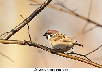 Eurasian Tree Sparrow - Passer montanus - on a twig