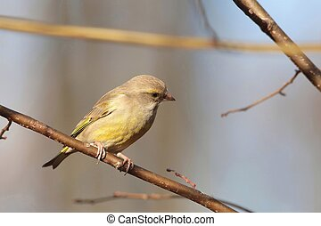 Greenfinch - Female Greenfinch - Carduelis chloris - on a...