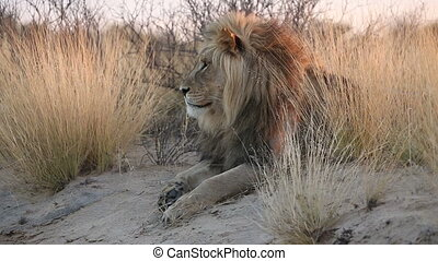 Male African lion - Big male African lion Panthera leo in...