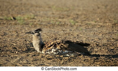 Kori bustard taking a dust bath - A kori bustard Ardeotis...