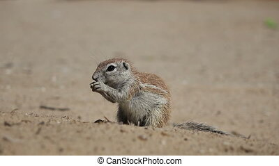 Feeding ground squirrel - Small ground squirrel (Xerus...