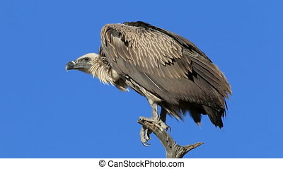 White-backed vulture - A white-backed vulture (Gyps...