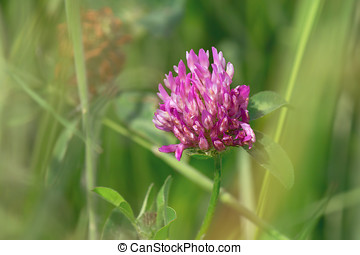 Red Clover - Red clover flower in the meadow. Shallow depth...