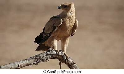 Tawny eagle - A tawny eagle (Aquila rapax) perched on a...