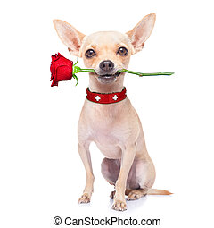 valentines dog - valentines chihuahua dog holding a rose...
