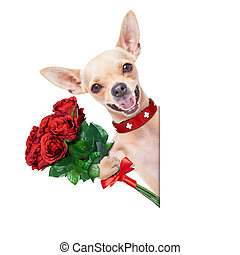 valentines dog - valentines chihuahua dog holding a bunch of...