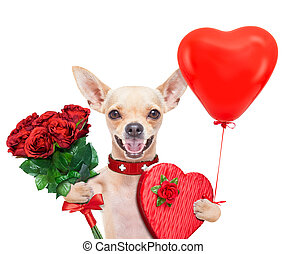 valentines dog - valentines chihuahua dog holding a present...