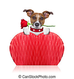 valentines dog - valentines dog holding a red rose with...