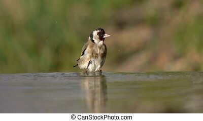 goldfinch, small bird, giving himself a bath on the edge of...