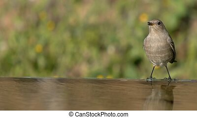 small bird - small bird, the source of water to drink and...