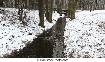 Ducks float in a nonfreezing stream in Lazenki's park,...