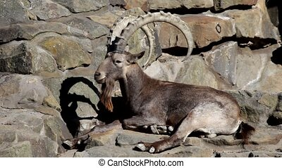 Argali mountain sheep lies on big stones