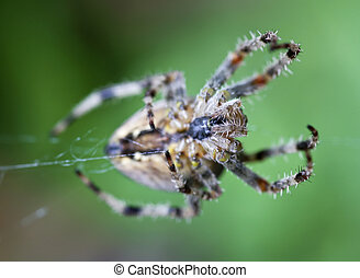 Garden Spider - Common UK garden spider close up showing...