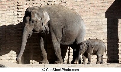 Adult elephant and elephant calf in the open open-air cage of a zoo