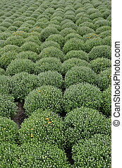 Rows of Mums - Rows of mums in a flower garden are...