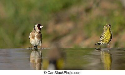 Goldfinch and Serin, bathing and drinking water at the...