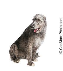 dog Irish wolfhound - dog Irish wolfhound in studio on white...