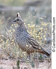 Scaled Quail - A Scaled Quail in Colorado